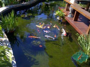 estanque de agua y peces koi
