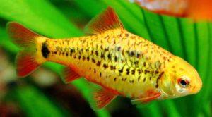 barbo pez de estanque