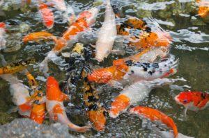 estanque koi