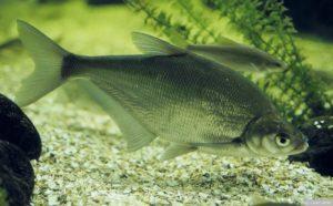 pez abramis
