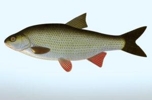 pez cacho de estanque