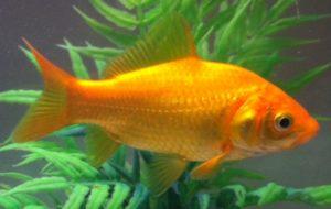 pez dorado de estanque